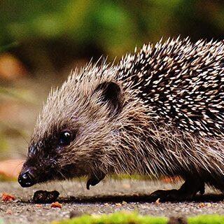 hedgehog thumb
